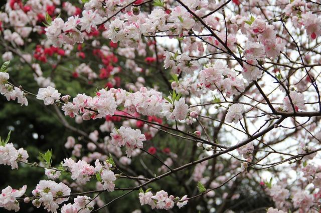 新宿御苑は桜がすばらしい!有料だけど。