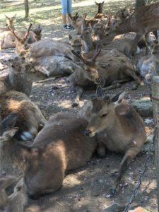 奈良公園の鹿。全然逃げないー。人間と共生しているね。